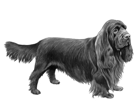 Sussex Spaniel - B&W