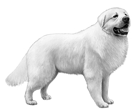 Great Pyrenees - B&W