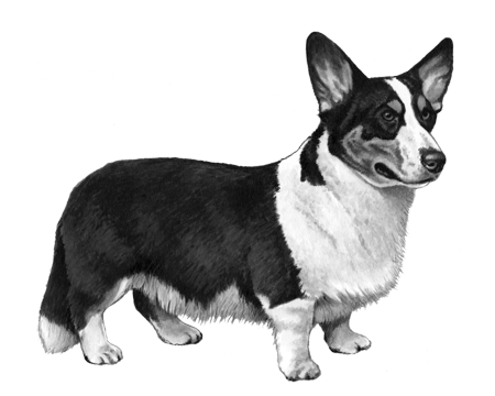 Cardigan Welsh Corgi - B&W