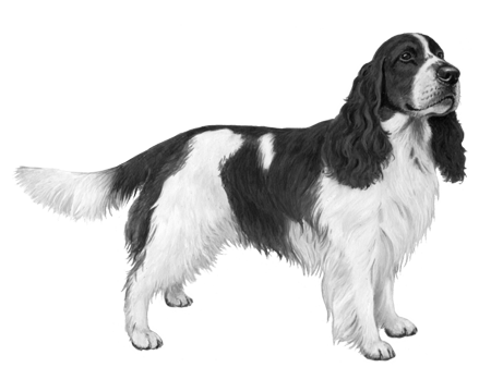 English Springer Spaniel - B&W