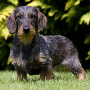 Dachshund (Miniature Wirehaired) - carousel