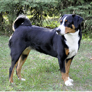 Appenzell Cattle Dog (1)