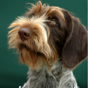 German Wirehaired Pointer - carousel
