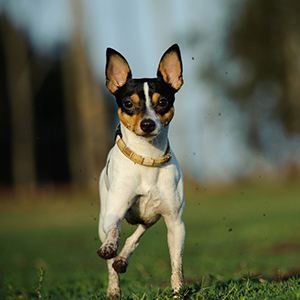 Fox Terrier (Toy) 300x300