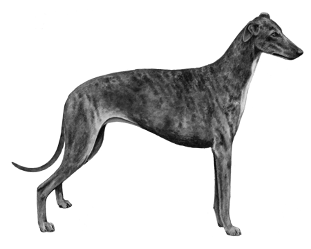 Greyhound - B&W
