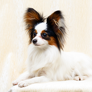 Continental Toy Spaniel 3