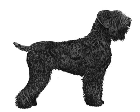 Black Russian Terrier - B&W