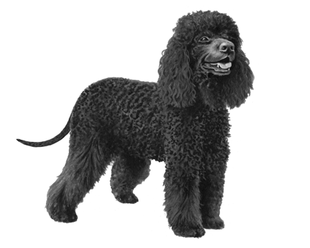 Irish Water Spaniel - B&W