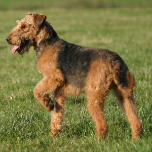 Airedale Terrier - carousel