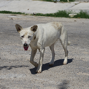 Mexican Street Dog 2
