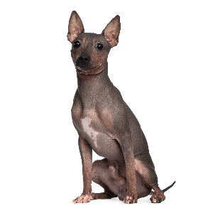 American Hairless Rat Terrier - carousel
