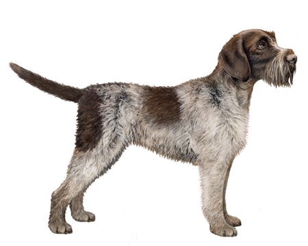 German Rough Haired Pointer