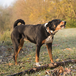 Appenzell Cattle Dog (2)