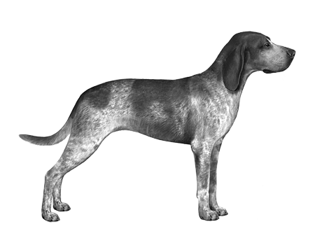 Amer English Coonhound B&W Small File