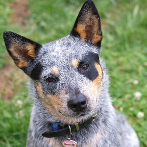 Australian Cattle Dog - carousel