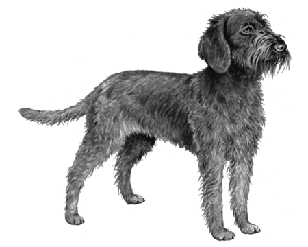 Wirehaired Pointing Griffon - B&W