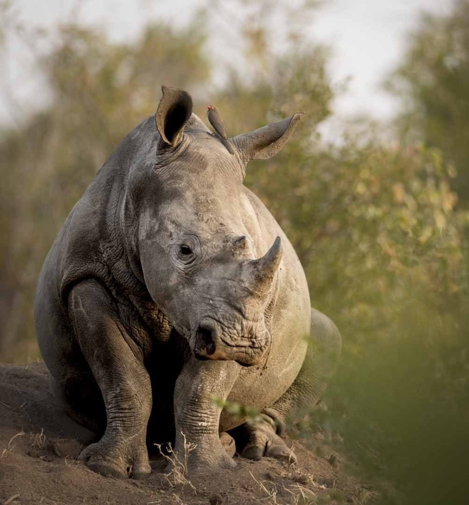 Black rhino sitting in bushveld