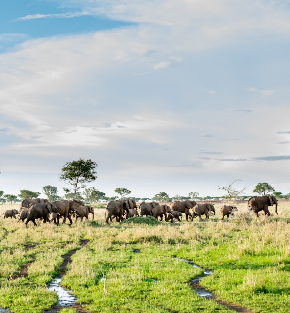 Herd of elephants crossing marshland