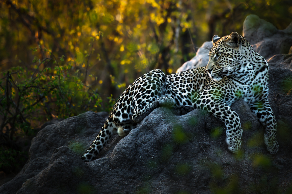 There are likely fewer than 5 000 leopards remaining in South Africa, making conservation programmes critical now more than ever in preserving the species