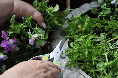 Klipp ner utblommade violer och penséer till cirka 5 centimeter. Foto: Bernt Svensson