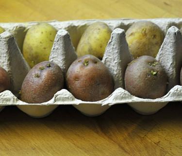 Du kan förgro dina sättpotatisar i äggkartonger.