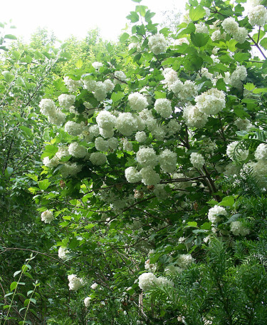Snöbollsbuske, _Viburnum plicatum_.Foto: Sylvia Svensson