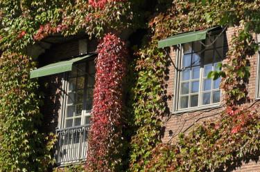 Rådhusvin, _Parthenocissus tricuspidata_, klättrar på fasad.