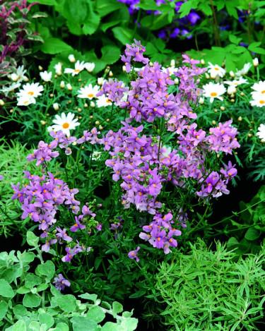 Nemesia i rabatt.  Foto: Blomsterfrämjandet/Syngenta
