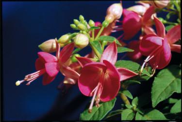 Fuchsia 'Cherry'.