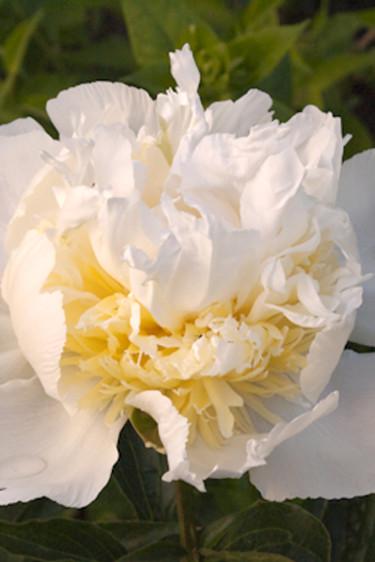 """En """"vill ha-blomma"""" - luktpionen 'Cheddar Cheese' med vita kronblad och varmgula mitt. Beställ här: [Perennerbjudande](http://erbjudande.odla.nu/bpr/?p=1)"""