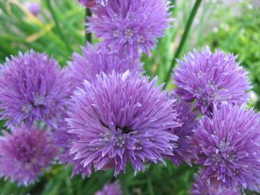 Kryddväxternas blommor är fina som dekoration i maten och förgyller i krukan. Här gräslök. Foto: Sxc