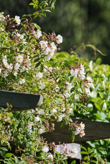 Lykkefund' är nästan taggfri och har halvfyllda, doftande blommor och rosatonade knoppar. Foto: Lars Forslin