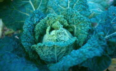 Savoykål med blågrön bladfärg är ytterst dekorativt.