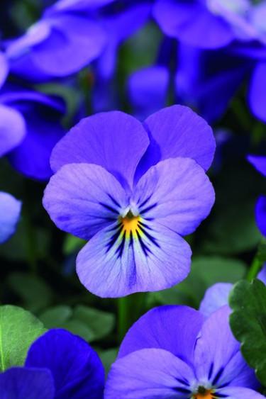 Lavendelblå hornviol.