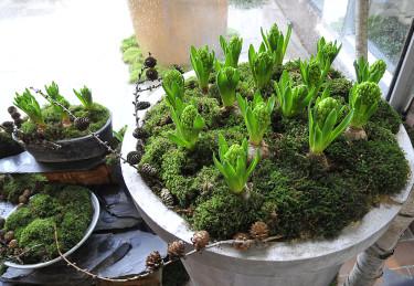Knoppiga hyacinter väntar på julen vid entrén. Foto: Sylvia Svensson