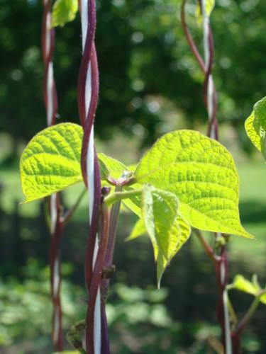 En bönplanta växer snabbt och slingrar sig vackert, vilket brukar tilltala de unga odlarna.