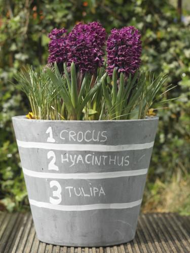 Lasange-plantering andra blomningen.