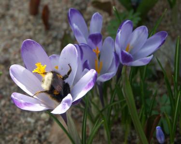 Vårkrokus med humla. Foto: Sylvia Svensson