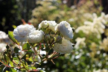 Den okända rosen som klarar mycket skugga // Foto: Anna Theorin