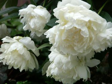 Paeonia lactiflora 'Le Gygne' (=Svanen).