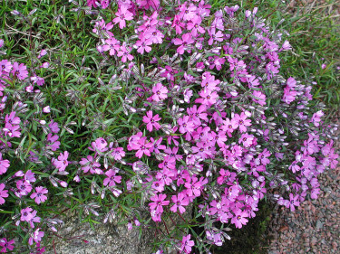 Mossflox, _Phlox subulata_ 'Purple Beauty'.
