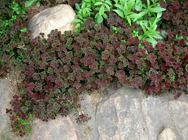 Rödbladig vitklöver, _Trifolium repens_ 'Purpurascens'. Foto: Sylvia Svensson