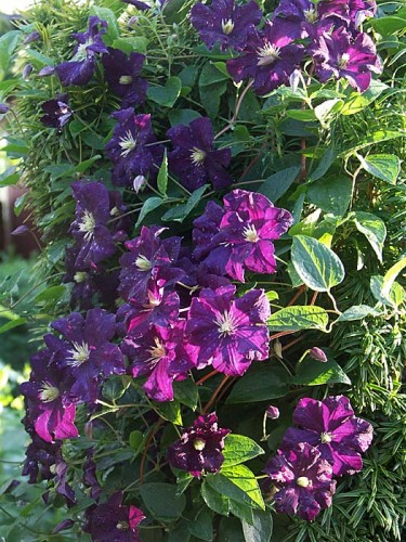 C. 'Etoile Violette', (_C. viticella_, storbl.) grupp 3