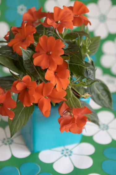 Lyckliga Lotta. Foto: Blomsterfrämjandet.