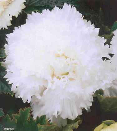 Begonia x tuberhybrida 'Fimbriata' vit