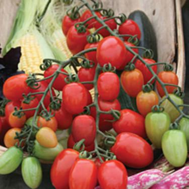 Tomaten 'Milla'. En fantastisk god plommontomat att odla utomhus eller i växthus. Läs mer: [Odla.nuShop](http://erbjudande.odla.nu/fro/?c=5)