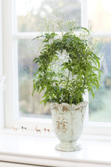 Vintage i frönsterkarmen med vippjasmin _Jasminum polyanthum_. Foto: Floradania
