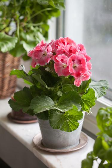Engelsk pelargon, _Pelargonium x domesticum_, är vacker i fönsterkarmen. Foto: Blomsterfrämjandet/Minna Mercke Schmidt