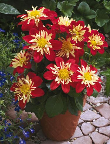 Goldalia 'Scarlet'.  Foto: Blomsterfrämjandet/Syngenta.