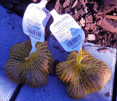 Potatis i småpåsar för odling i kärl. Foto: Bernt Svensson